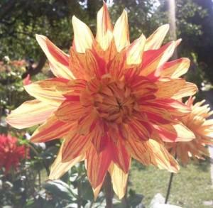Dahlie aus dem Britzer Garten