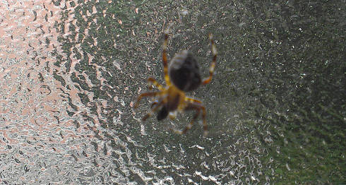 Spinne am Fenster