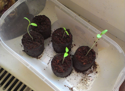 Tomatenpflanzen